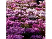 Cyclamen hederifolium mixed colours