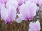 Cyclamen hederifolium Pink Shades