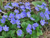 Hepatica nobilis (blue)