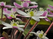 Hepatica yamatutai (pink backed flowers)