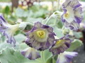 Primula auricula 'Her Nibs'