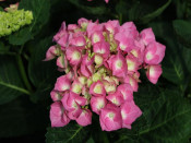 Hydrangea macrophylla 'Berlin' (supplied as pink)
