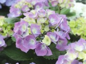 Hydrangea macrophylla 'Berlin' (supplied as blue)
