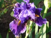 Bearded Iris 'Deep Dark Secret'