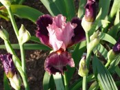 Bearded Iris 'Dumbell'