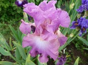 Bearded Iris 'Mallow Dramatic'