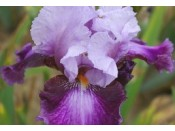Bearded Iris 'Scene Stealer'