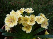 Lewisia Ashwood Carousel Hybrids Yellow Shades