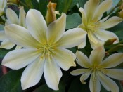 Lewisia tweedyi Lemon form