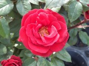 Rosa 'Love Knot'