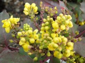 Mahonia 'Sioux'
