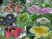 Ashwood Hellebore Greeting Cards Mixed Pack of 12
