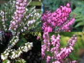 A Collection of Four Heathers: The 'Winter to Spring' Collection (9cm pot)