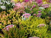 A Collection of Six Heathers: The 'All Year Round' Collection (9cm pot)