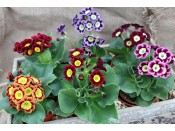 Primula auricula Ashwood Alpine Strain Collection of 6 plants