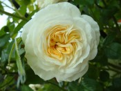 Rosa 'Clarence House'