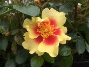Rosa 'Eye of the Tiger' (Standard)