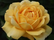 Rosa 'Golden Celebration' (Ausgold)
