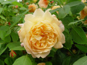 Rosa 'Grace' (Auskeppy)