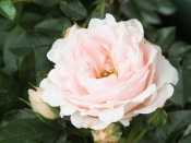 Rosa 'Lovely Bride' in a Patio Pot