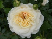 Rosa 'Queen's Jubilee Rose'