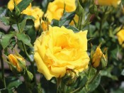 Rosa 'Yellow Patio'