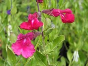 Salvia x jamensis 'Dark Dancer'