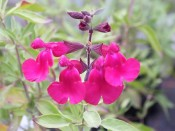 Salvia x jamensis 'Raspberry Royale'
