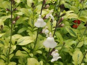 Salvia x jamensis 'Moonlight Over Ashwood'