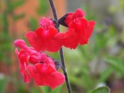 Salvia x jamensis 'Red Velvet'