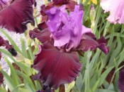 Bearded Iris 'Romantic Evening'