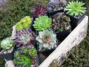 A Sempervivum Collection (6 Plants)