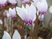 Cyclamen hederifolium 'Silver Arrow'
