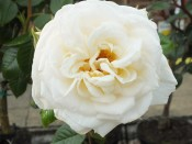 Rosa 'White Patio'
