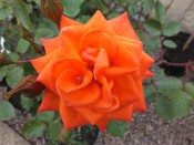 Rosa 'Wildfire' (Patio Standard)