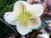 Helleborus x ericsmithii 'Winter Moonbeam'