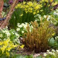 Unfurling ferns amongst Primula vulgaris and narcissi