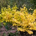 Cornus sanguinea 'Magic Flame' in autumn colouring