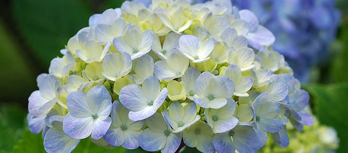 heavenly hydrangeas  ashwood nurseries, Beautiful flower